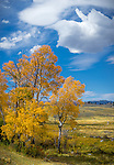 Yellowstone National Park, Wyoming:<br /> Golden colors of aspen and grasses along the Northern Tier