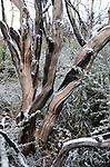manzanita at Bonny Doon Ecological Reserve,   Sand Hills