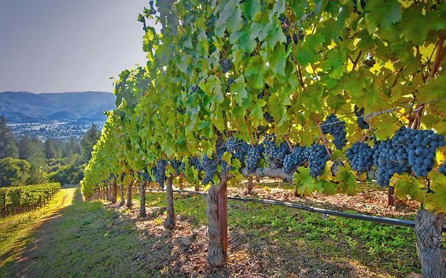Vineyard near St. Helena in Napa Valley