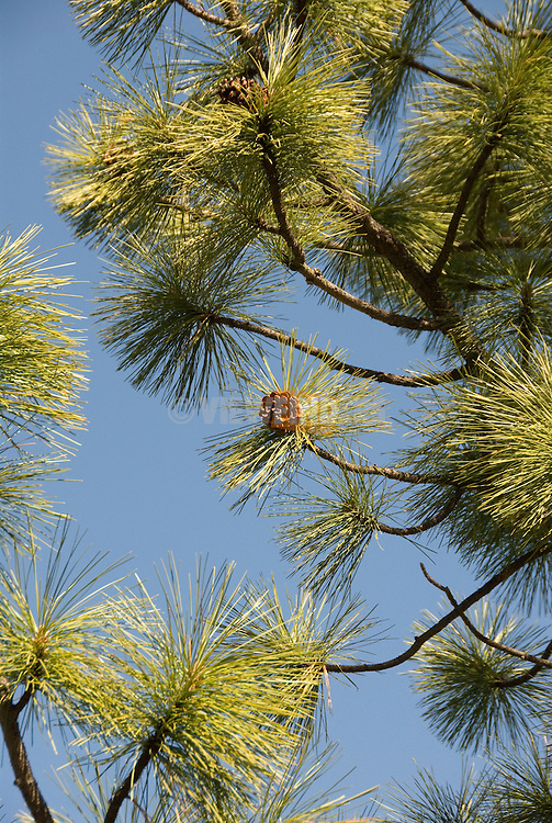 Pine tree detail, High Desert, Central Oregon