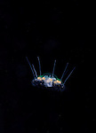 Aegina citrea Eschscholtz, 1829 or Free swimming form of Nausithoe punctata Jellyfish<br /> Phylum Cnidaria / Class Hydrozoa / Order Narcomedusae / Family Aeginidae