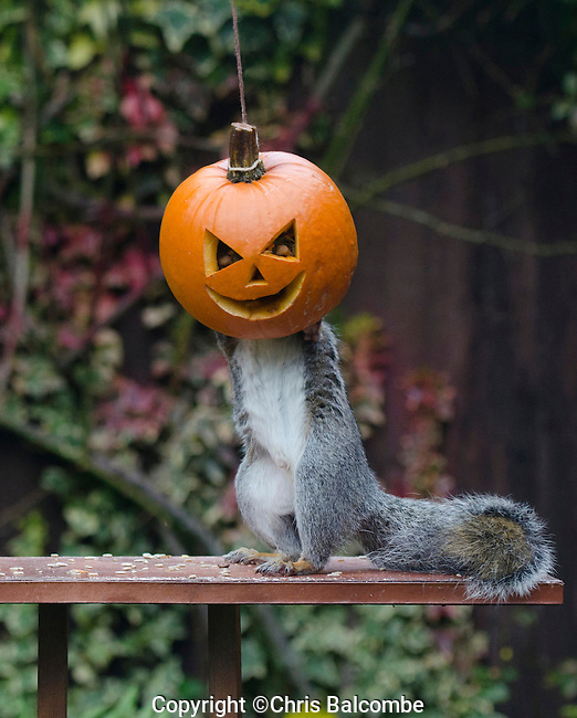 Warning:  May Contain Nuts!.Squirrel Nutkin? Meet Squirrel Pumpkin!..This hungry squirrel looks all set for Halloween, as he stuffs his head into a peanut-packed pumpkin.The bird table raider was snapped in a New Forest Garden in the UK.<br /> Pictured: Getting stuck in - the squirrel munches away. You can glimpse the nuts in the carved eye sockets<br /> Pic: Chris Balcombe