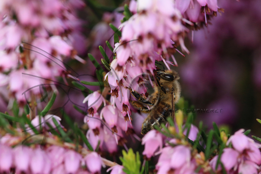 Bees collecting nectar from Calluna and Erica heather.///Des abeilles butinent sur des fleurs de bruyère callune et Erica