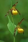yellow ladies slipper