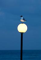 Venezuelan Laughing Gull on lightpost in Charlotte Amalle. St. Thomas. US Virgin Islands