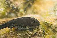 Tadpole of Amargosa toad, Bufo nelsoni.  The species is described as sensitive and imperiled by the State of Nevada and U.S. Bureau of Land Management, but is not listed as an Endangered Species.  Oasis Valley, near Beatty, Nevada