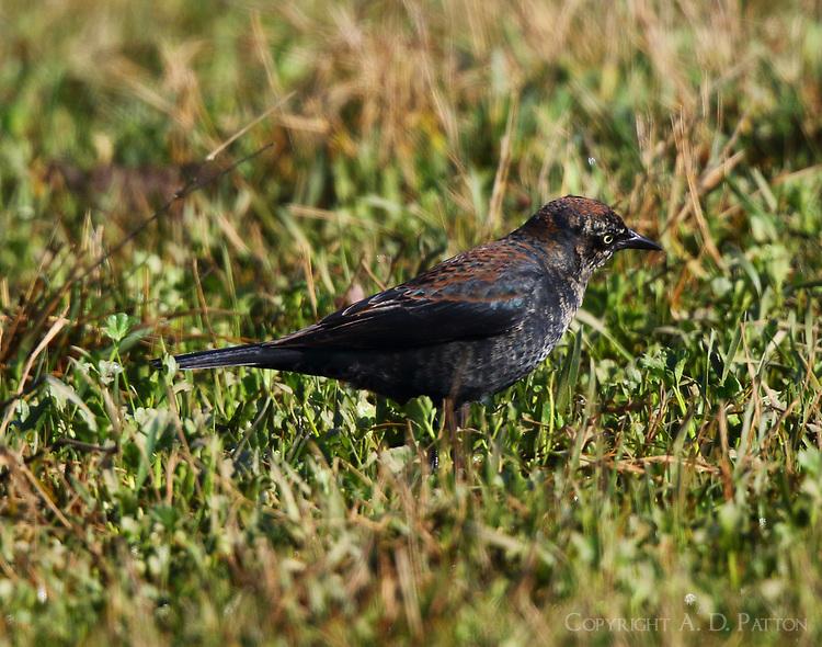Male rusty blackbird