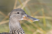 Shoveler - Anas clypeata - female