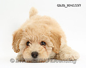 Kim, ANIMALS, REALISTISCHE TIERE, ANIMALES REALISTICOS, fondless, photos,+Cute playful Poochon puppy, 6 weeks old,++++,GBJBWP41597,#a#