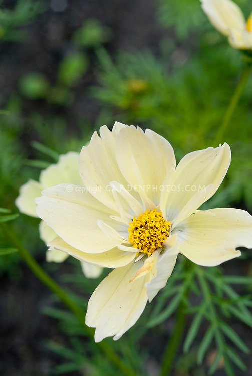 Cosmos bipinnatus 'Xanthos' yellow flowered half hardy annual