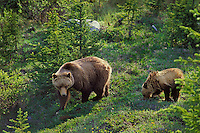 Grizzly Bear sow with cub, Northern Rocies.  June.