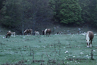 A photo taken at Prati di Mezzo (Meadows in the Middle), in the Abruzzo National Park, at the starting point  of the trails to the Meta Mountains and at about ten chilometers from Picinisco. There are brown horses characterized by a white mane, in a peculiar light, since the meadow was still in the semidarkeness. One can notice three apparently very young foals, too. This is an enlargement of a parte of the original photo.<br /> <br /> You can download this file for (E&amp;PU) only, but you can find in the collection the same one available instead for (Adv).