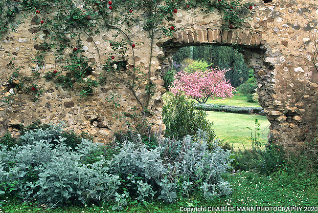 A crabapple burst into spring bloom framed by the crumbling, rose shrouded walls of chapel on the grounds of the Ninfa garden in central Italy, south of Rome