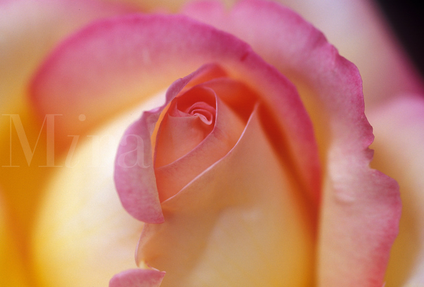 Yellow and pink rose.
