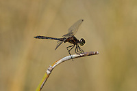 362690009 a wild male black meadowhawk sympetrum danae perches on a stick near de chambeau ponds in mono county california united states