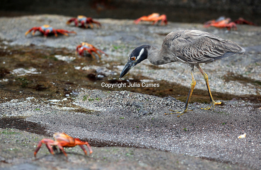 A yellow-crowned night heron searches for food between the sally lightfoot crabs on Florian Island in the Galapagos.