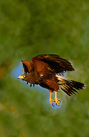 541950082v a wild adult harris hawk parabuteo unicinctus in flight on a private ranch in the rio grande valley of south texas