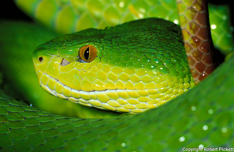 White Lipped Viper, Snake, Trimeresurus albolabris, S.E. Asia, tropical jungle, close up showing eyes and green yellow scales skin, poisonous, venemous