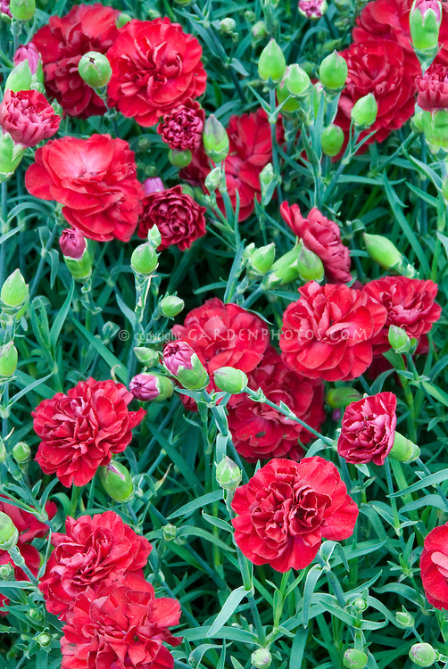 Dianthus Scarlet Passion aka WP Passion Scent First series, red flowers