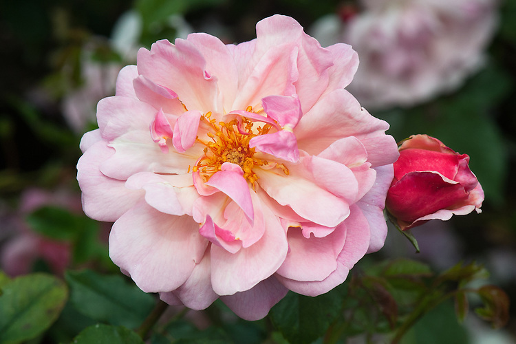 Rosa 'Marchenland', late June. A pink shrub rose bred in the 1950s.