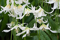 Erythronium californicum Harvington Snow Goose in spring bloom