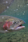 UNDERWATER RAINBOW TROUT WITH SPINNING GEAR
