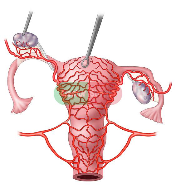arterial supply uterus