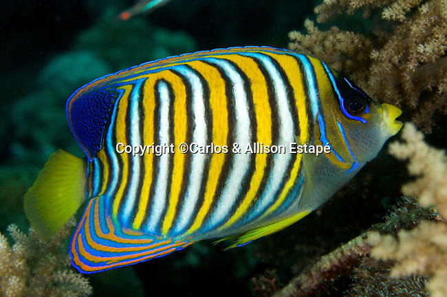 Pygoplites diacanthus, Regal angelfish, Raja Ampat, Indonesia