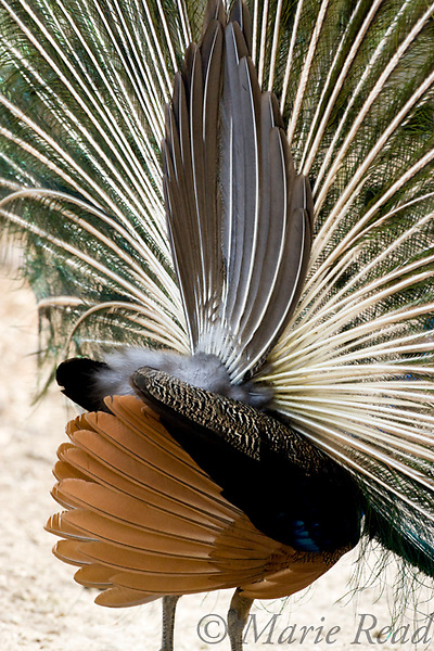 Peacock (Pavo cristatus) rear view of male displaying. The colorful train consists of numerous uppertail coverts, supported underneath by the unadorned tail feathers. Introduced species, photographed in California, USA