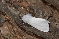 Amerikanischer Webebär, Weißer Bärenspinner, Hyphantria cunea, Hyphantria brunnea, fall webworm, fall webworm moth, L'Ecaille fileuse, Bärenspinner, Arctiidae, Arctiinae, erebid moths, erebid moth, woolly bears, woolly worms