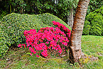 TRUNK OF CHERRY TREE, KURUME AZALEA, BOXWOOD