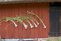 fresh garlic hanging to dry in bunches on a red barn wall. The farm at Rashult where Linnaeus was born. Smaland region. Sweden, Europe.