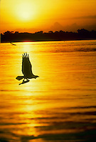 Osprey, Pandion haliaetus, flying over waters of the Gulf coast with a freshly caught fish as the sun sets