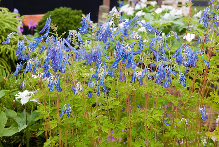 Corydalis 'Craigton Blue' blue flowers