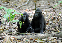 The Celebes crested macaque (Macaca nigra), also known as the crested black macaque, Sulawesi crested macaque, or the black ape, is an Old World monkey that lives in the northeast of the Indonesian island of Sulawesi (Celebes) as well as on smaller neighbouring islands.
