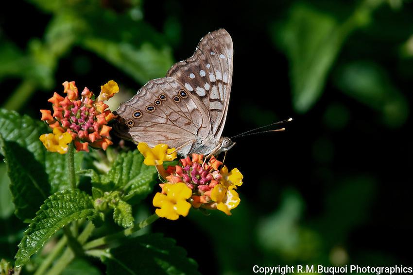 Tawny Emperor Butterfly on Lantana