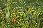 Cattails growing in northern Wisconsin.