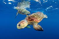 Loggerhead Sea Turtles, Caretta caretta, court offshore Palm Beach County, Florida, prior to mating, Atlantic