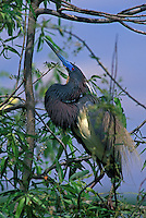 Tricolored Heron (Egretta tricolor) in breeding plumage, displaying, in south Florida