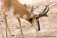 0606-1106  Pronghorn (Prong Buck) in Sonoran Desert, Antilocapra americana  © David Kuhn/Dwight Kuhn Photography