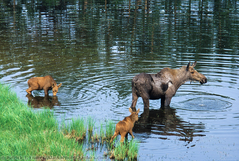 Cow moose and two spring calves drink water in a tundra pond near Denali National Park, Alaska
