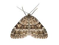 70.072 (1744)<br /> Grey Mountain Carpet - Entephria caesiata