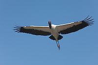 Wood Stork (Mycteria americana) flying