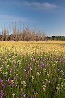 Wildflower meadow, Wharton State Forest, New Jersey