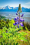 Close up of Nootka Lupine at Bird Ridge. Turnagain Arm of Cook Inlet and Chugach Mountains are in the background. Chugach State Park, Alaska Vertical.