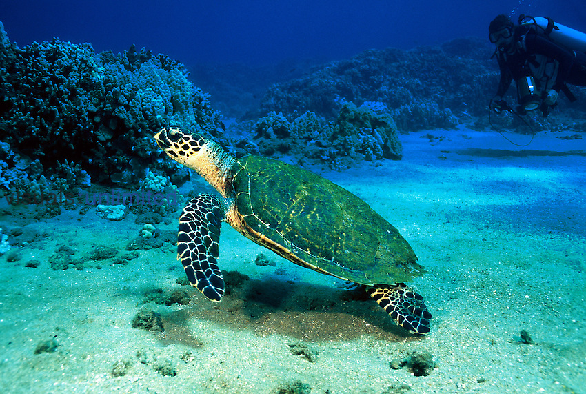 A hawksbill turtle, Eretmochelys imbricata, and diver ,MR, on a Hawaiian reef.