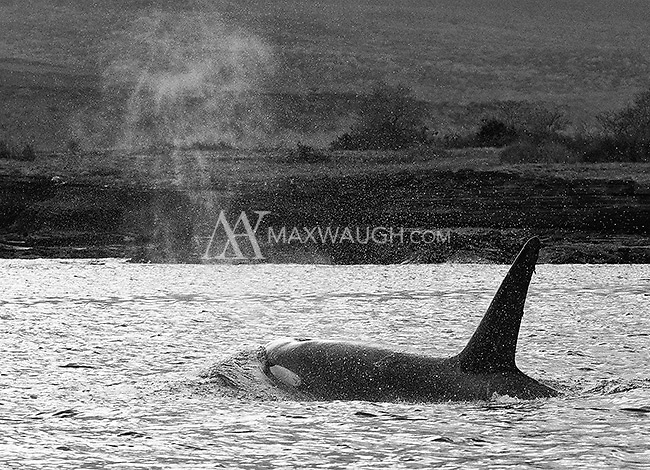 We had a brief encounter with a pair of orcas, which surfaced between our Zodiacs as we were going toward shore.