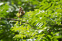 Purple emperor butterfly (Apatura iris) in the branches of a sycamore tree. Bookham Common, Surrey, UK.