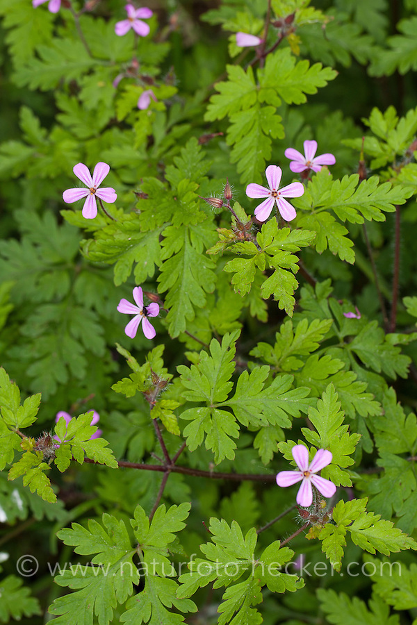 Ruprechtskraut, Ruprechtkraut, Ruprechts-Kraut, Stinkender Storchschnabel, Stink-Storchschnabel, Stinkstorchschnabel, Geranium robertianum, syn. Robertiella robertiana, Herb Robert, Red Robin, Death come quickly, Storksbill, Dove's Foot, Crow's Foot, Robert Geranium