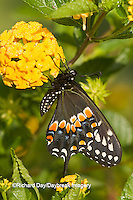 03009-01714 Black Swallowtail butterfly (Papilio polyxenes) male on New Gold Lantana (Lantana camara) Marion Co., IL